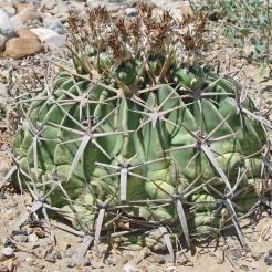 Horse-Crippler-Cactus.jpg