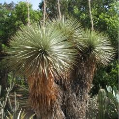 yucca-thompsoniana.jpg