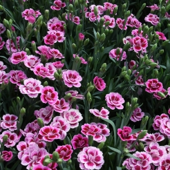 Garden Pinks & Carnations