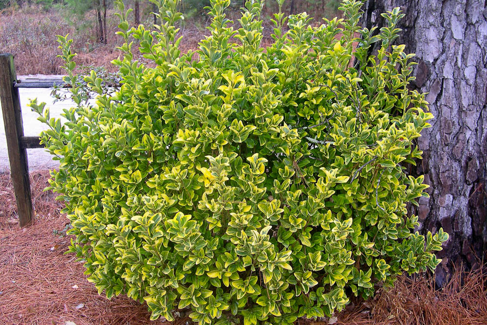 how to kill cooch grass in shrubs