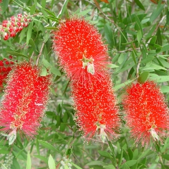 bottle-brush.jpg