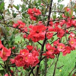 flowering_quince.jpg