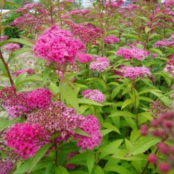 spirea-anthony-waterer.jpg