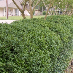 Dwarf Chinese Holly