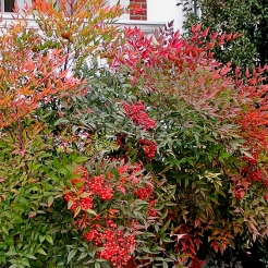 Nandina (Heavenly Bamboo)