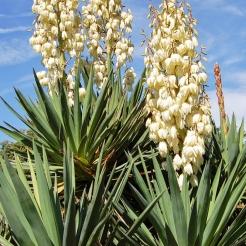 Pendula Yucca