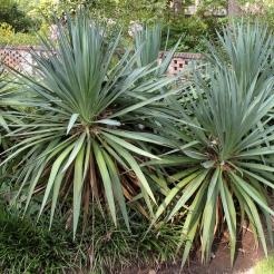 Soft-Tip Yucca