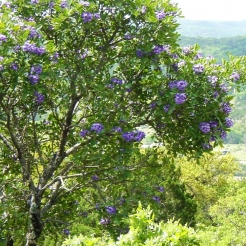 texas-mountain-laurel.jpg