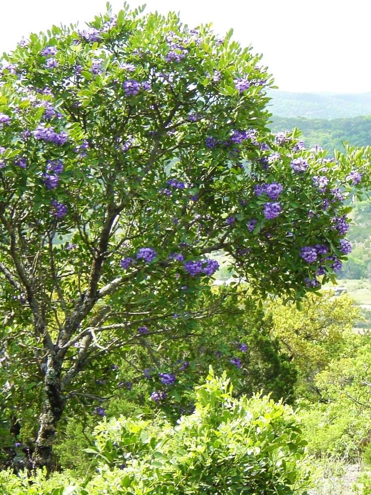 Evergreen shrubs simpson landscape for The evergreen