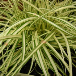Carex_evergold.jpg