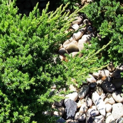 Dwarf Japanese Garden Juniper (Green Mound)