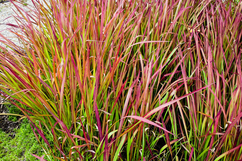 Ornamental grasses simpson landscape for Red landscaping grass