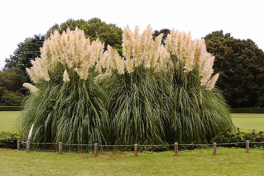 Ornamental grasses simpson landscape for Ornamental pampas grass