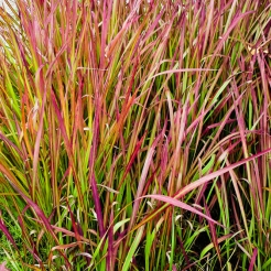 Autumn Red Japanese Grass