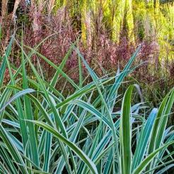 Cosmopolitan Maiden Grass