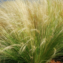 mexican-feather-grass.jpg