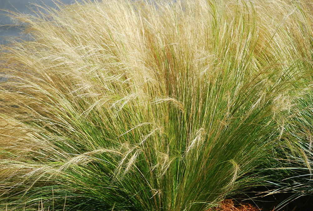 Ornamental grasses simpson landscape for Ornamental feather grass