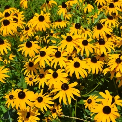 Goldsturm Black-eyed Susan
