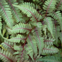 Japanese_Painted_Fern.jpg