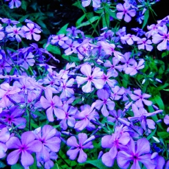 Louisiana Phlox
