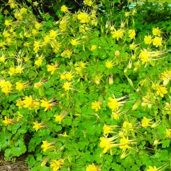 Texas Gold Columbine