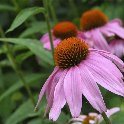 purple-coneflower.jpg
