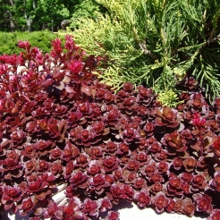 sedum-dragons-blood.jpg