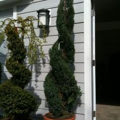 double-spiral-juniper.jpg