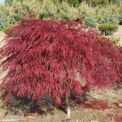 "Japanese Maple ""Crimson Queen"""