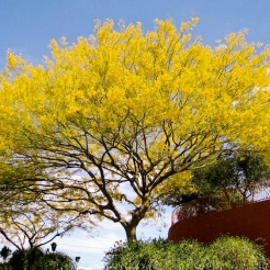 Retama Tree (Paloverde)