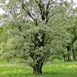 Cottonless Cottonwood
