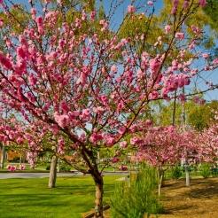 flowering-peach.jpg