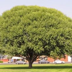 Globe Willow