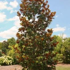 Little Gem Magnolia