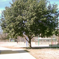 Mexican White Oak (Monterrey Oak)