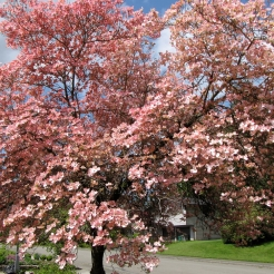 Pink Dogwood