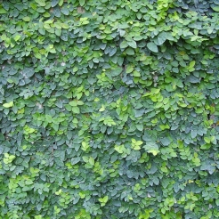 fig-ivy.jpg